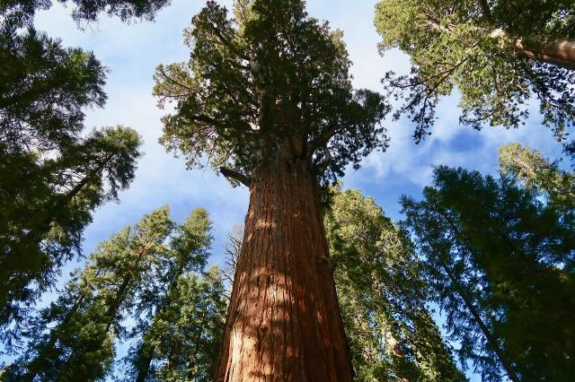 sequoia-2406954_1920