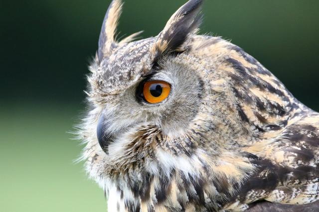 eurasian-eagle-owl-1642795_1920
